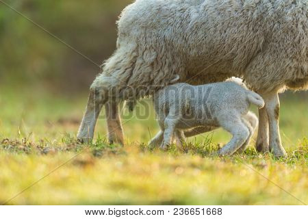 Mother feeding young lambs on pasture, early morning in spring. Symbol of spring and newborn life.