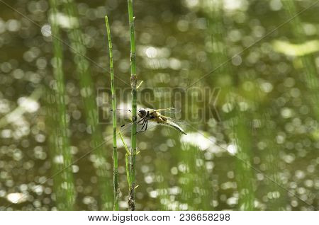 Summer Dragonfly Called Mosaic Darner Sits On The Stem Of The Horsetail On A Beautiful Shiny Backgro