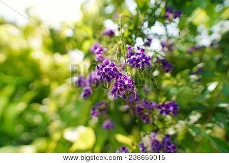 Close Up Purple Flower On Green Background. Duranta On Blurred Branch And Leaves Background. Nature