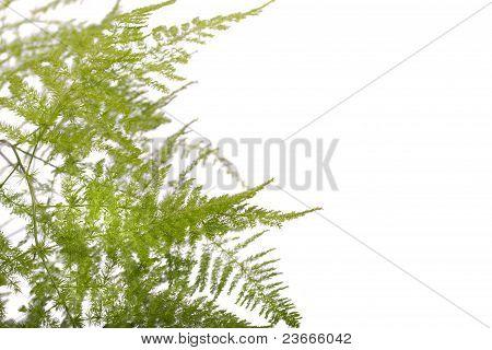 Fern Asparagus Garden Plant
