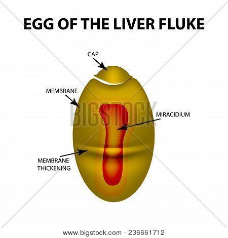 Egg Of The Liver Fluke. Infographics. Vector Illustration On Isolated Background