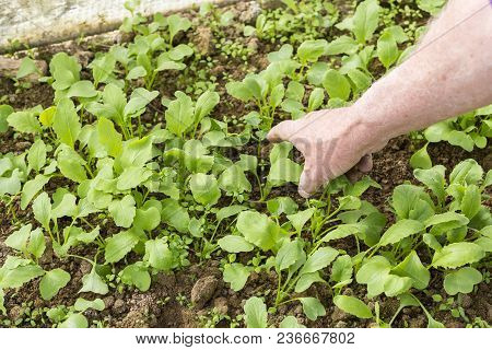 Young Small Radish Plants With Hand Of Senior Garden. Permaculture In France