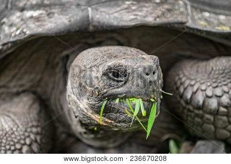 Galapagos Giant Tortoise eating grass on Santa Cruz Island in Galapagos Islands. Galapagos Tortoises are iconic to and only found Galapagos. Animals, nature and wildlife nature.