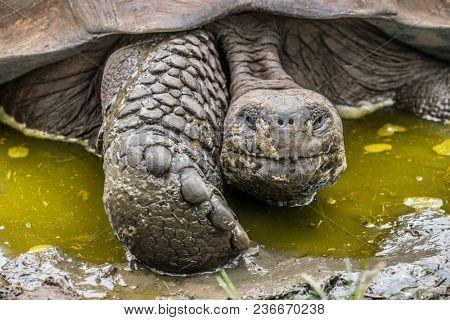 Galapagos Giant Tortoise on Santa Cruz Island in Galapagos Islands. Galapagos tortoises cool of in water hole. Amazing animals, nature and wildlife nature from Galapagos Islands highlands