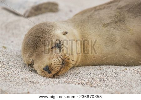 Galapagos Sea Lion cub lying sleeping in sand lying on beach Galapagos Islands. Animals and wildlife nature on Galapagos, Ecuador, South America. Cute animals.