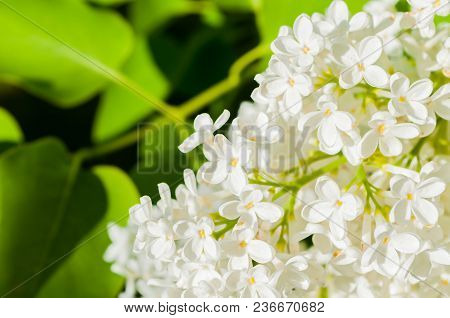 Lilac Flowers, Spring Flower Background. Selective Focus At The Central Lilac Flowers, Soft Focus Ap