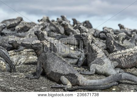 Galapagos Marine Iguana - Iguanas warming in the sun on volcanic rocks on Fernadina Island, Espinoza Point. Amazing wildlife animals on Galapagos Islands, Ecuador.