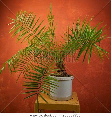Beautiful Green Tropical Palm Tree In  Pot