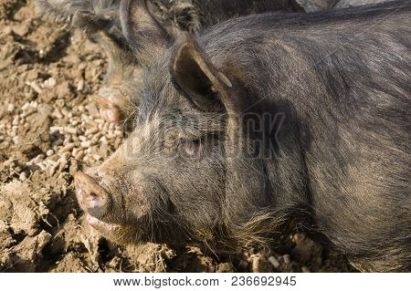 Berkshire black pigs an old rare British breed which is also bred in Japan Kagoshima province as the kurobuta poster