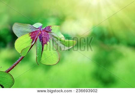 Nature Background With Clover Leaves.green Clover Leaf Isolated On Green Background.