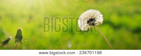 Dandelion Isolated On Green Background. Spring Background.