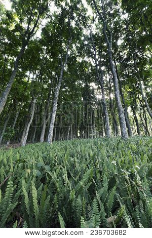 Rows Of High Trees In A Plantation Growing Among Ferns