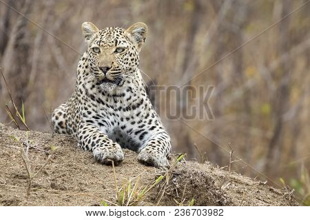 Lone Leopard Lay Down To Rest On An Anthill In Nature During Daytime