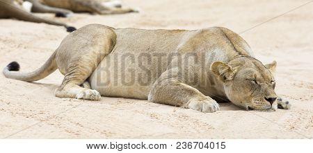 Close-up Of A Lioness Lying Down To Sleep On The Soft Kalahari Sand