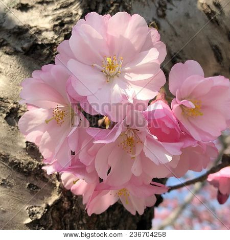 Cherry Flowers Blooming In Roosevelt Island In Spring