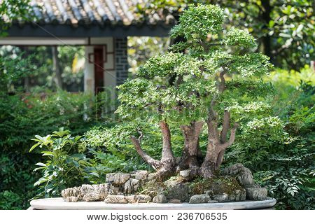 Bonsai Against Vevetation Background In Baihuatan Public Park, Chengdu, China