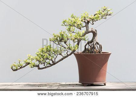 Bonsai Tree In A Pot Against A White Background In Baihuatan Public Park, Chengdu, China