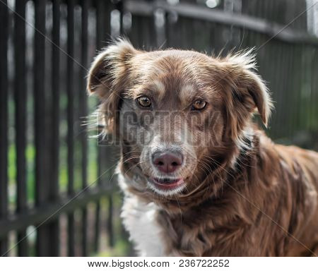 Portrait Of Cute Chained Brown Or Red Dog Looking Into Camera On Old Village Yard With Old Wooden Fe