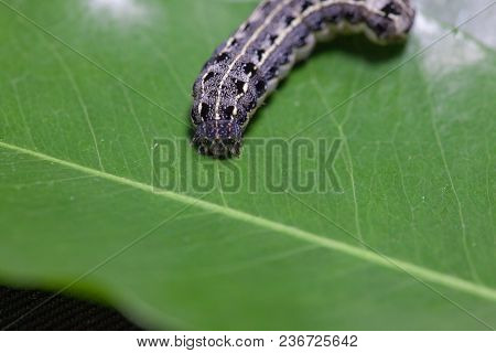 Close Up Of Common Cutworm On Leaves