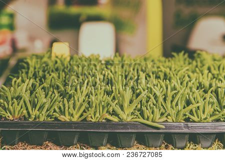 Seedlings Of Flowers And Vegetables Growing In Foam Containers In Paper Bags On The Window In The Gr