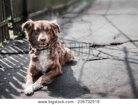 Portrait Of Cute Chained Brown Or Red Dog Lying Or Resting On Old Rustic Courtyard Next To Wooden Fe