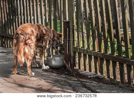 Back Side Of Brown Or Red Dog Chained And Drinking Water On Old Rustic Courtyard With Garden Wooden