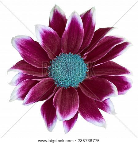 Flower Maroon White Chrysanthemum  With Cyan Center,  Isolated On White Background. Close-up.  Eleme