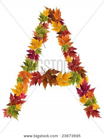 The letter A made from autumn maple tree leaves