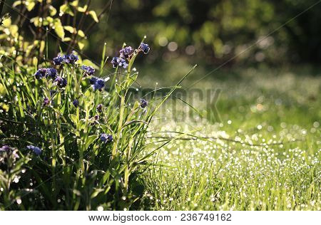 Beautiful Early Morning In A Sunlit Wild Flower Meadow In The Spring. With Forget- Me- Not Flowers (