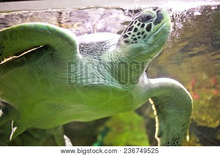 Flying Green Turtle Floats In A Big Aquarium.