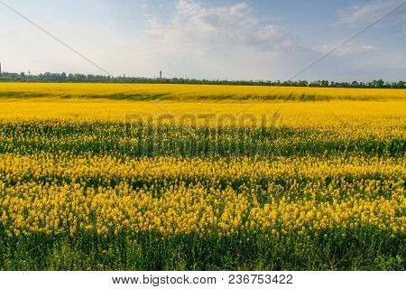 Crops Of Rapeseed (latin Brassica Napus)