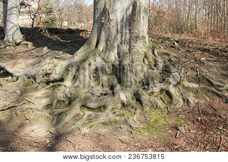 Revealed Crooked Roots Of An Old Beech Tree