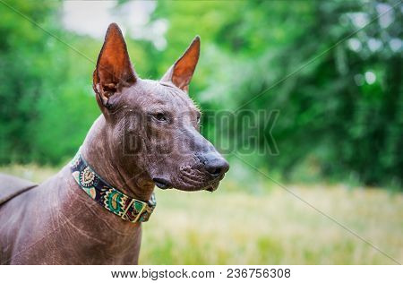 Portrait Of One Mexican Hairless Dog Of Xoloitzcuintli (xolo)  Breed In A Collar,outdoors On Summer