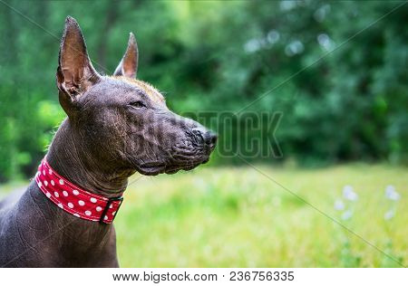 Closeup Cute Portrait One Mexican Hairless Dog (xoloitzcuintle, Xolo) In A Red Collar On A Backgroun