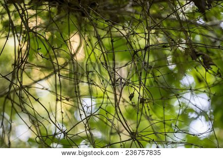 Wild Vines Intertwine In A Woodland Area