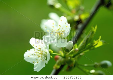 Spring Apple Flowers In Bloom Lit By Soft Sunlight, Spring Flower Background, Free Space. Sunny Spri