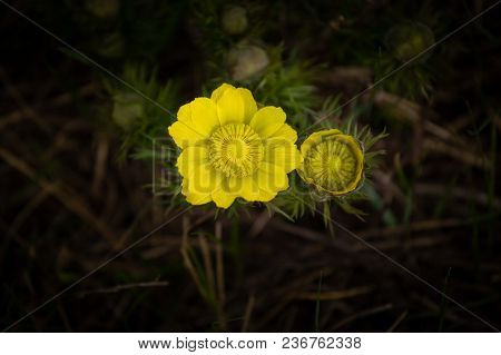 Yellow Pheasant's Eye Or Adonis Vernalis Is A Lovely Wild Flower