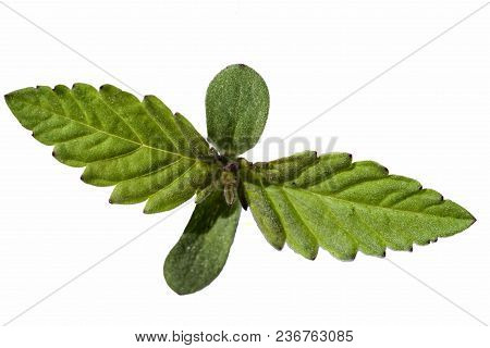 A Young Shoot Of A Marijuana Plant With The First Leaves Isolated On The White Background.