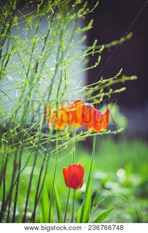 The First Spring Tulip Flower In The Control Sun Amid The Greenery, A Vertical Frame