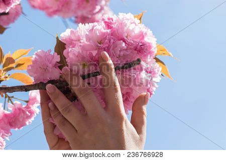 Leaves Of Cherry Blossoms In The Hands Of A Woman
