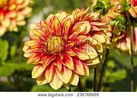 Beautiful Red And Yellow Dahlia On A Background Of Green Foliage. Sunny Day At The End Of September.