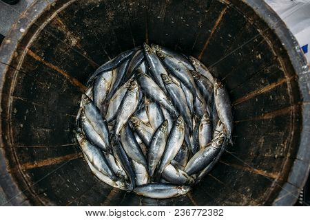 Salted Fresh Herring Fish In Wooden Oak Barrel, Traditional Healthy Seafood, Top View