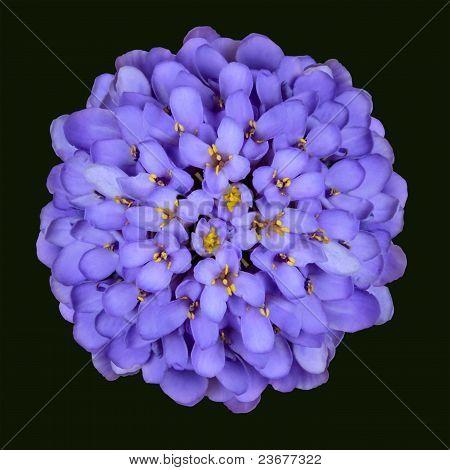 Blue Iberis Flower Head - Thymus Serpyll