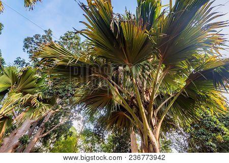 Sea Coconut Or Lodoicea Maldivica Also Known As Coco De Mer Or Double Coconut. Male Palm