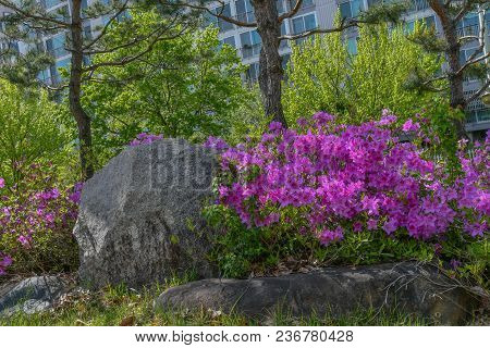 Beautiful Lilac Colored Spring Flowers Growing Next To A Large Boulder In Public Park On Sunny After
