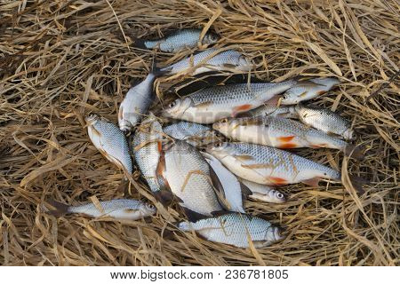 A lot of small roach fish in old grass, spring catch