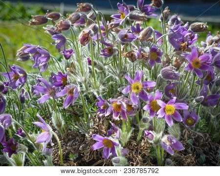 Violet Flowers Of Pulsatilla In A Horizontal Format