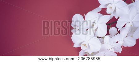 Banner White Orchid Banner On Red Background. Top View Copy Space For Your Text