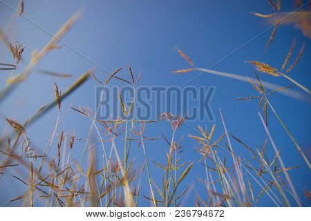 Grass Flowers Against The Blue Sky In Garden. Selective Focus.