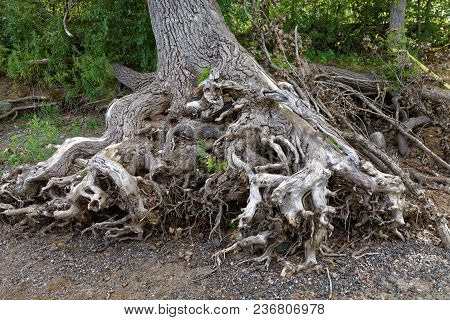 The Exposed Roots Of A Tree Near The Bank Of The Mississippi River